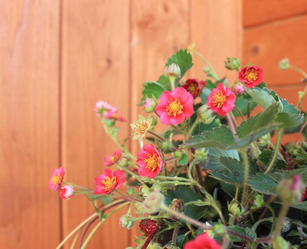 Клубника Вива росса (рем, розовые цветки , в комплекте 6шт ), art clb17