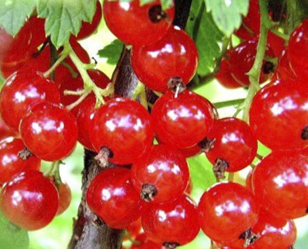 Красная смородина 2л