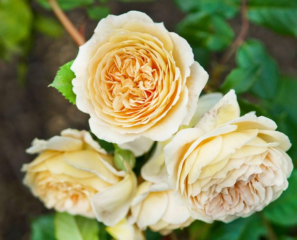 Роза Парковая Маргарита (crown princess margareta. 2 литра), art rp1